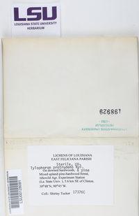 Tylophoron protrudens image