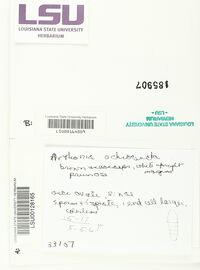 Arthonia ochrocincta image