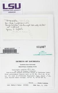 Arthonia atra image