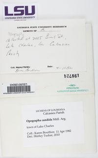 Dimidiographa longissima image