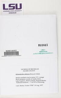 Ochrolechia arborea image