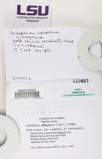 Caloplaca epiphora image
