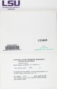 Image of Myriotrema erodens