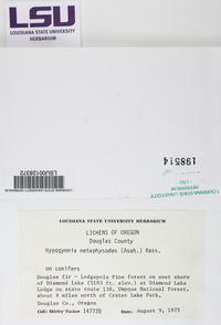 Hypogymnia metaphysodes image