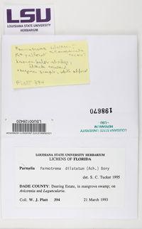 Parmotrema dilatatum image