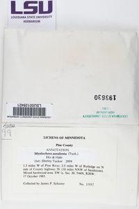 Myelochroa aurulenta image