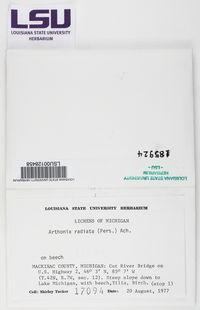Arthonia radiata image