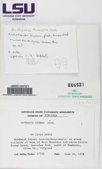 Arthonia dispersa image