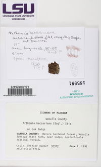 Arthonia beccariana image