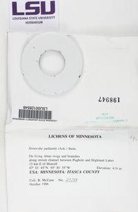 Stenocybe pullatula image