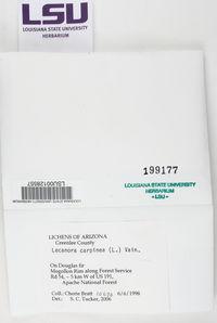 Lecanora carpinea image