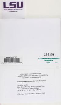 Allocetraria madreporiformis image