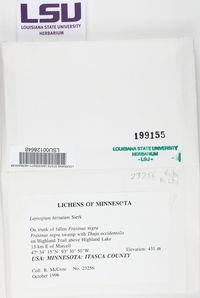 Leptogium hirsutum image