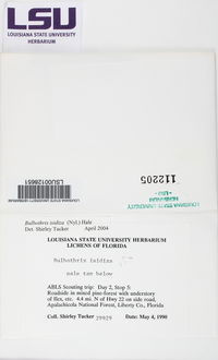 Bulbothrix isidiza image