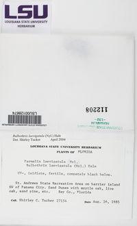 Bulbothrix laevigatula image