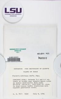 Alectoria ochroleuca image