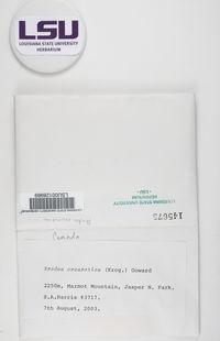 Brodoa oroarctica image