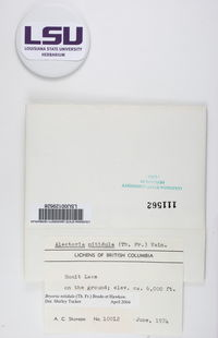 Bryoria nitidula image