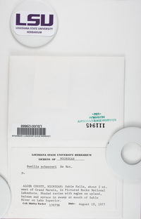 Buellia schaereri image
