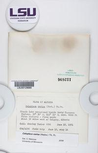 Caloplaca cerina image