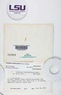 Caloplaca aphanotripta image