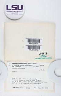 Polycauliona verruculifera image