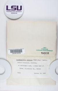 Candelariella rosulans image
