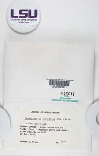Candelariella subdeflexa image
