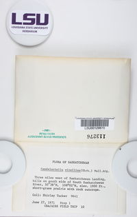Candelariella vitellina image