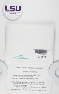 Candelariella xanthostigma image