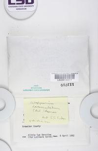 Clavascidium lacinulatum image