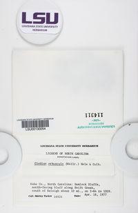 Cladonia arbuscula subsp. arbuscula image