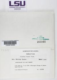 Cladonia boryi image