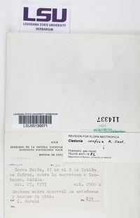 Image of Cladonia confusa