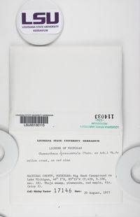 Chaenotheca chrysocephala image
