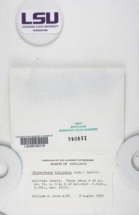 Chaenotheca hispidula image