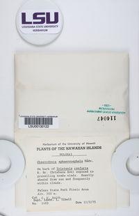 Chaenotheca sphaerocephala image