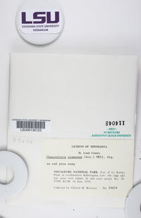 Chaenotheca stemonea image
