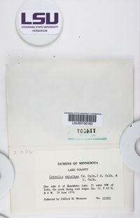 Cetrelia chicitae image