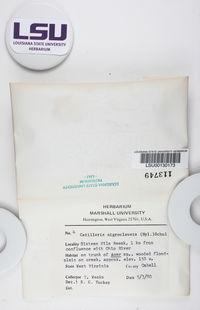 Catillaria nigroclavata image