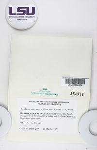 Cladonia subtenuis image
