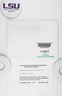 Cladonia beaumontii image