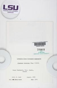 Cladonia botrytes image