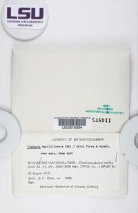 Cladonia bacilliformis image