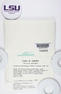 Cladonia chlorophaea image