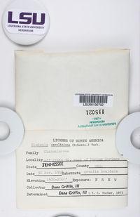 Cladonia dimorphoclada image