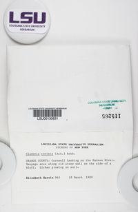 Cladonia conista image