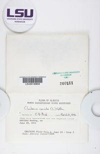 Cladonia cornuta image