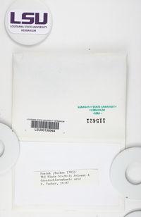 Cladonia cryptochlorophaea image