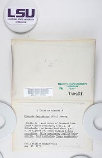 Cladonia decorticata image